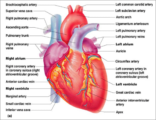 about your heart - the heart center, Cephalic Vein